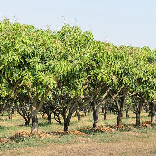 Mangoplantage