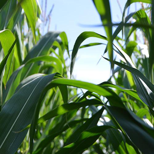 Nachhaltigkeit durch die Stärkegewinnung von Mais