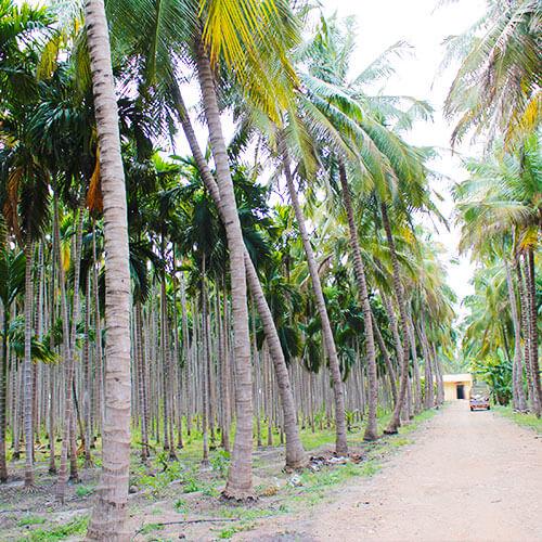 Fair Palmleaf Production
